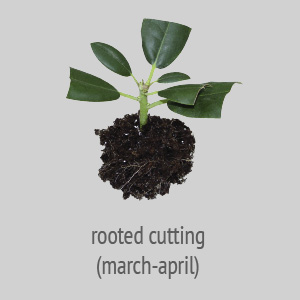 rooted cutting march-april