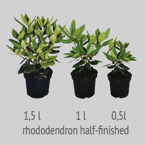 rhododendron half-finished