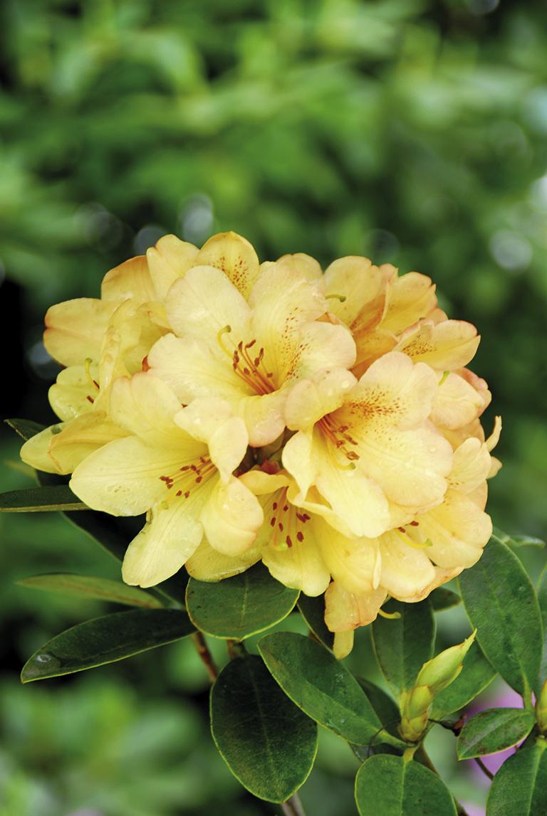 hybr gelb orange schr der rhododendron gmbh co kg. Black Bedroom Furniture Sets. Home Design Ideas